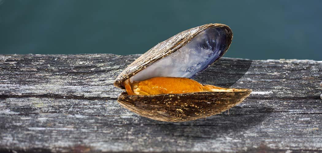 Mussla från musselodling i Lysekil